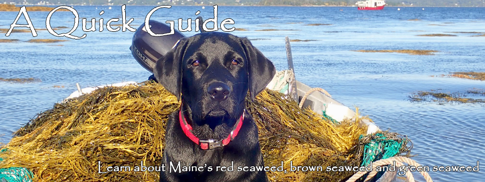 A Quick Guide: Learn about Maine's red seaweed, brown seaweed and green seaweed