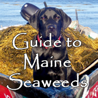 Guide to Maine Seaweeds